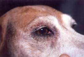 Alteracion Cutánea en la Piel de un perro, de donde se puede aislar Staphylococcus