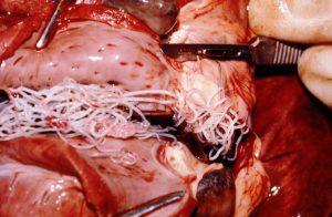Infestación por Dirofilaria Immitis en el Corazón de un Perro