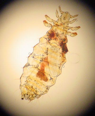 Linognathus Setosus con sangre de perro en su interior
