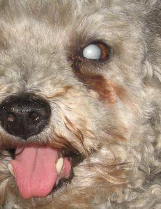 Catarata Madura en Perro