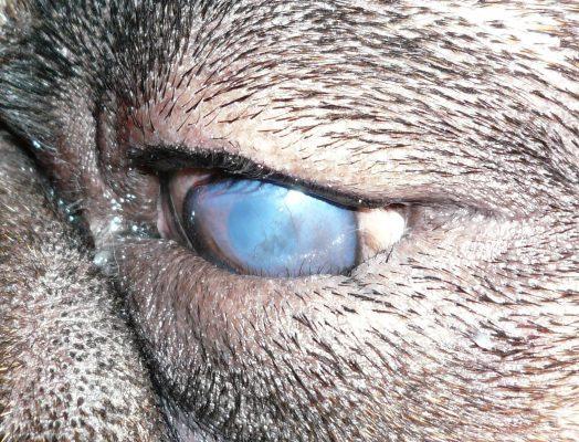 Entropión en Perros