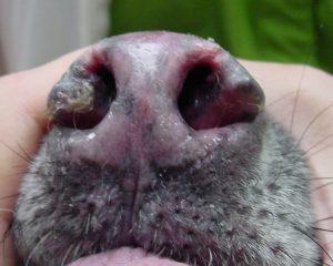 Lupus Discoide en hocico de perro
