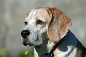Beagle Obeso