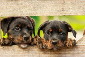 diarrea en perros de cachorro rottweiler