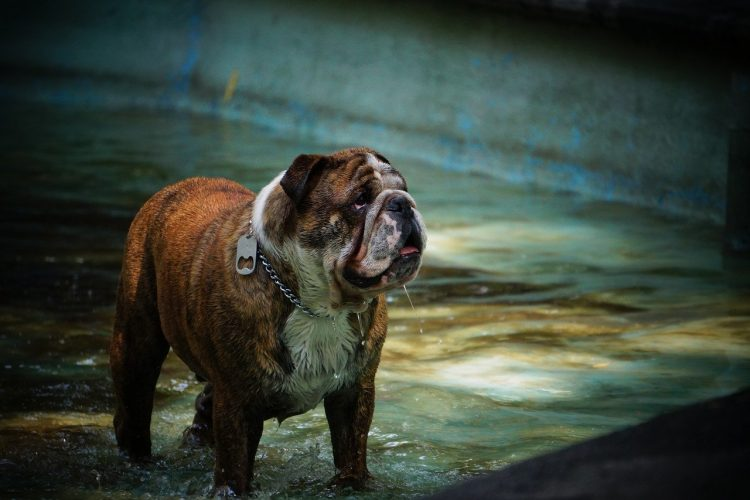 Obesidad en perros ¿como saber si mi perro esta gordo? - 🧡