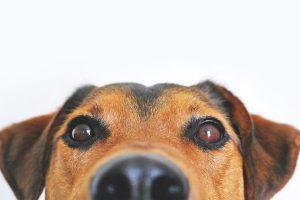 sarna en perros