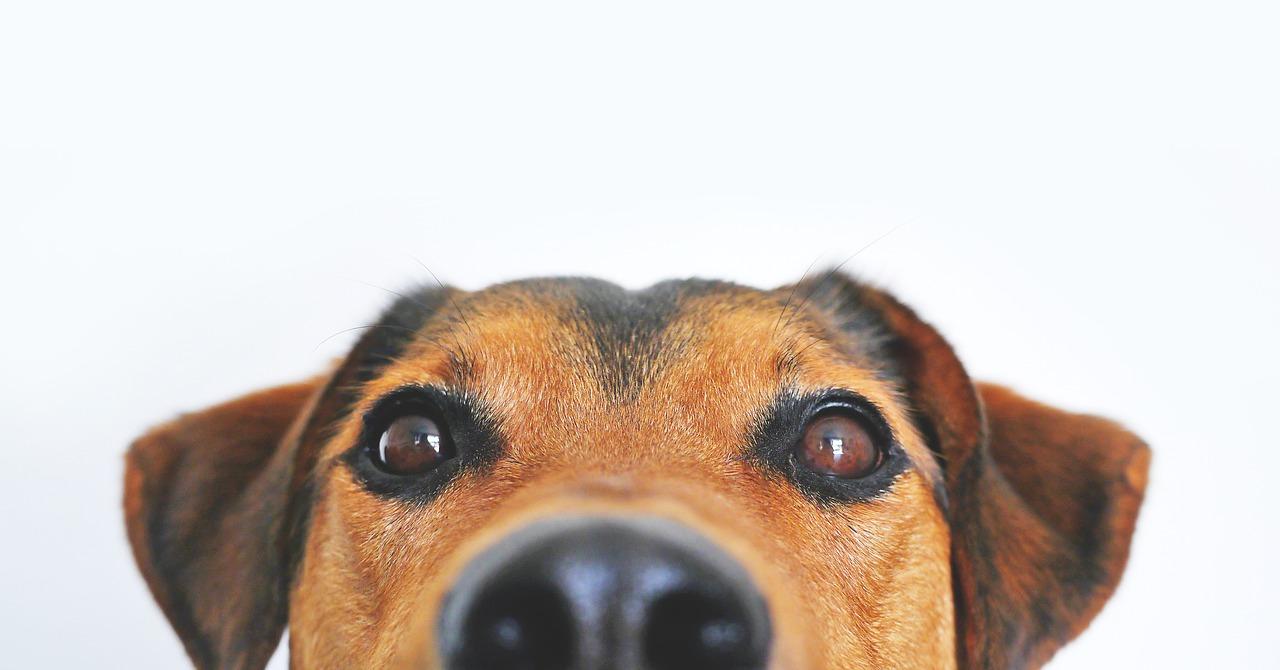 SARNA EN PERROS || Como quitar la Sarna en perros. Guia 2019