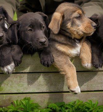 parvovirosis en perros