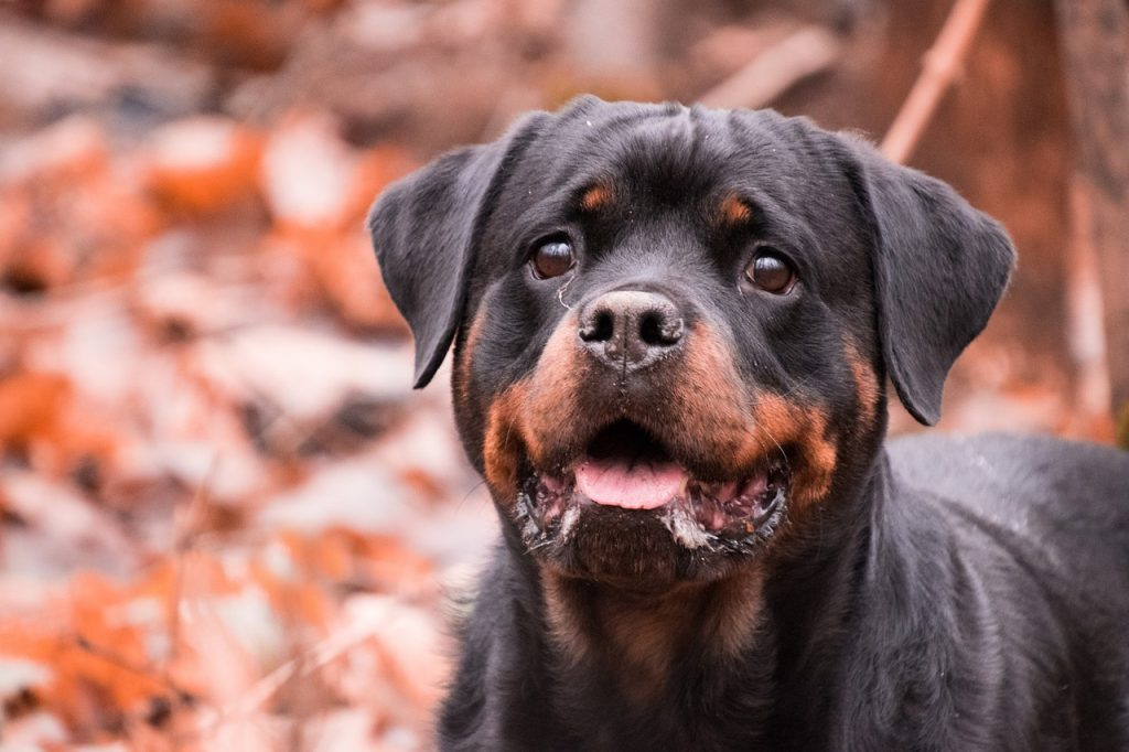 perros rottweiler en venta