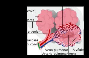 Sacos alveolares del Pulmón de un Perro donde converge el aire del exterior y los capilares sanguíneos para efectuar el intercambio gaseoso