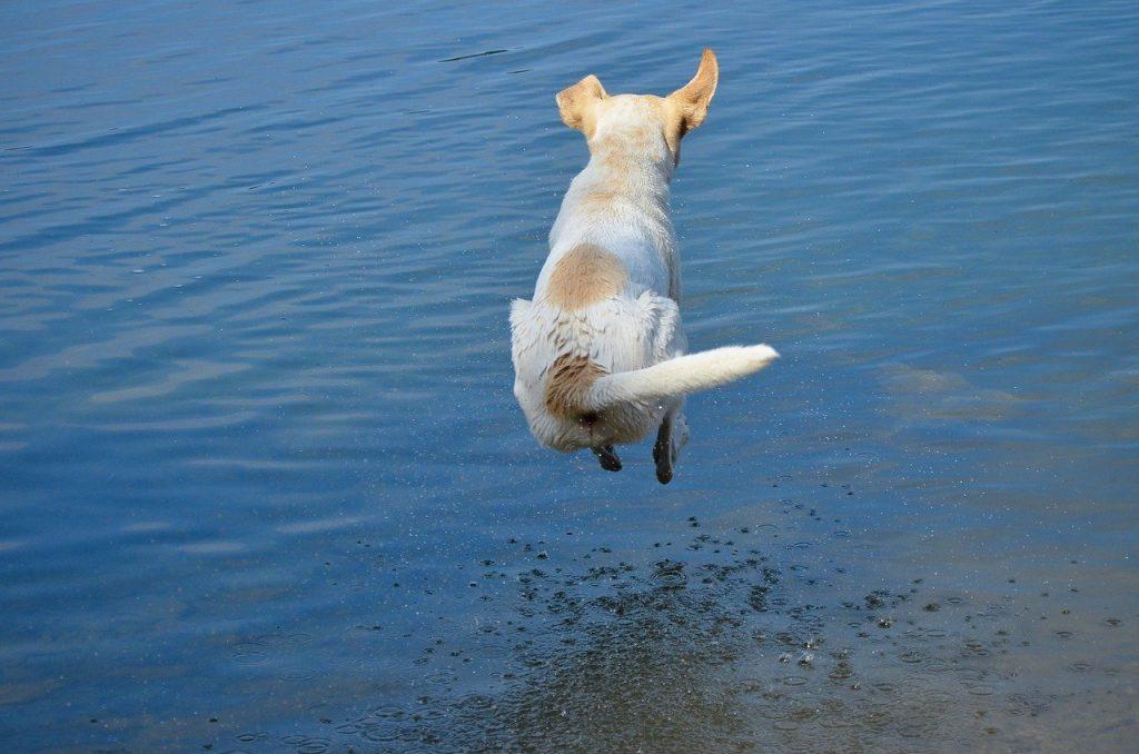 sindrome vestibular en perros