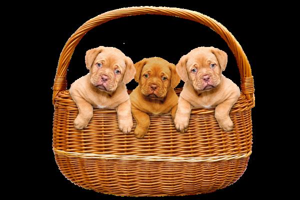 Prurito y comezón en un perro afectado por sarna