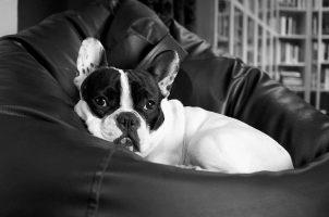 enfermedades por parásitos en perros , perro blanco pequeño