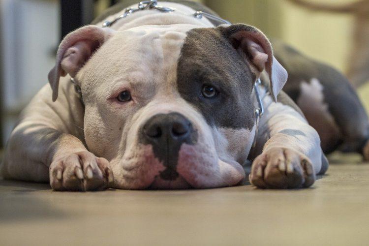 Arritmia Cardiaca en Perros  🧡 Síntomas  y Tratamiento