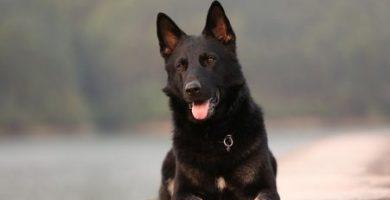 enfermedades del bazo en perros, arritmia cardiaca en perros