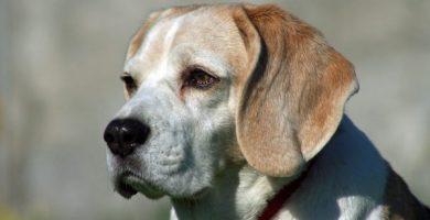 enfermedades hepáticas en perros