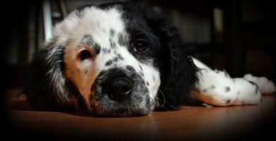 enfermedades en perros adultos y viejos