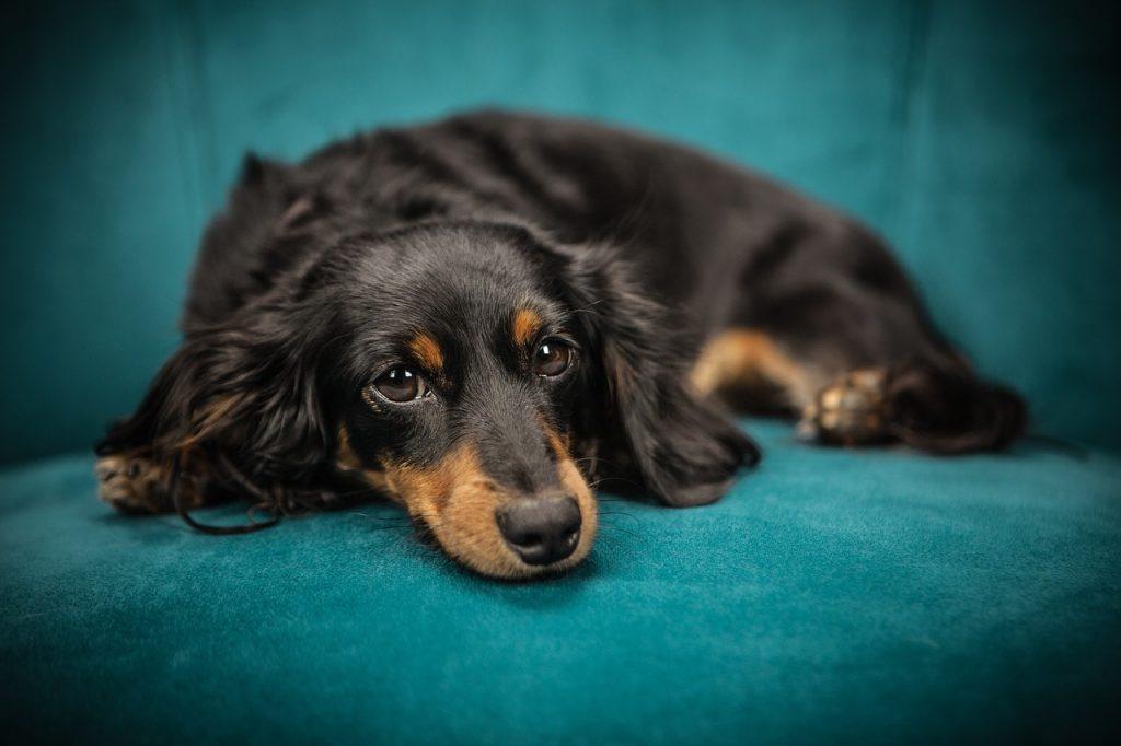 enfermedades bacterianas en perros