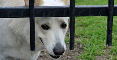 enfermedades cardíacas en perros, infarto en perros sintomas