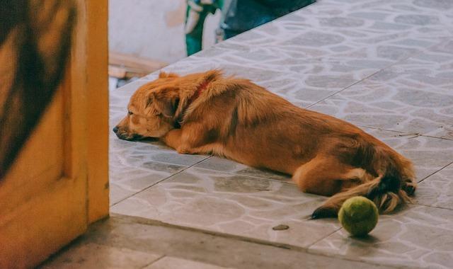 enfermedades cardiacas en perros, conducto arterioso persistente perro, cardiomiopatia dilatada en perros