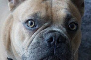 enfermedades de la cornea en perros