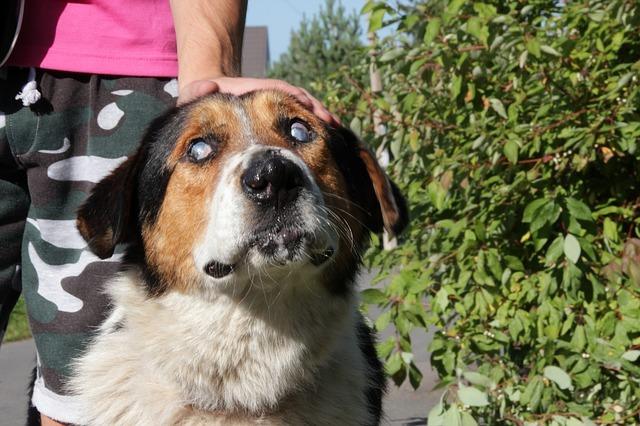 enfermedades de los ojos en perros copia