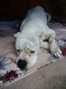 enfermedades del bazo en perros, que funciona tiene el bazo