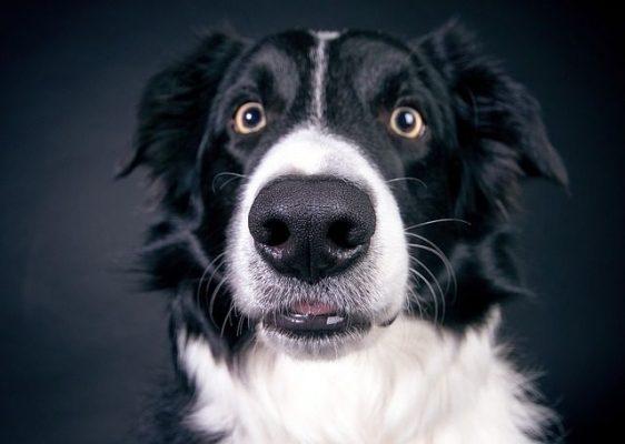 enfermedades del hocico en perros
