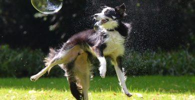enfermedades musculares en perros.