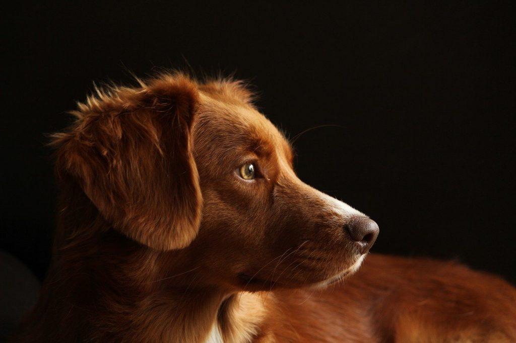 esplenomegalia en perros