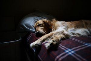 gripe en perros, síntomas de queja, tratamiento de la queja, tratamiento de queja, queja síntomas y tratamiento, tratamientos para la queja,