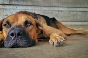gripe en perros