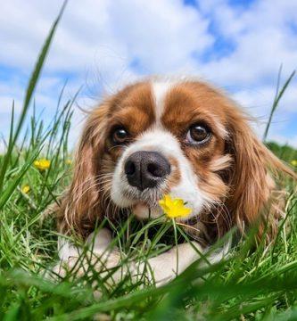 insuficiencia renal crónica en perros