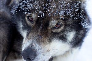 neumonía en perros