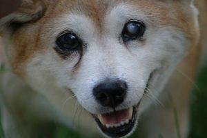 enfermedades de los párpados en perros