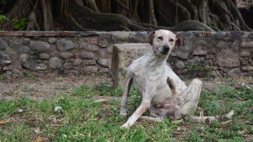 enfermedades transmitidas por pulgas en perros
