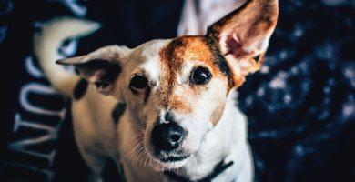 enfermedades en las orejas de los perros