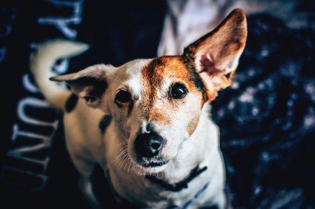 Enfermedades en las Orejas de los Perros  🧡 Guía 2020