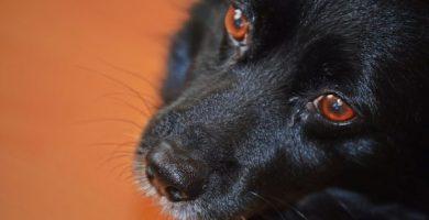 taquicardia en perros