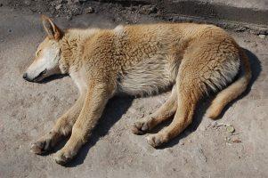 torsión gástrica en perros