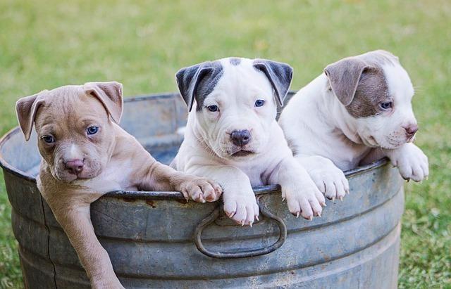 tos de las perreras o traqueobronquitis infecciosa canina