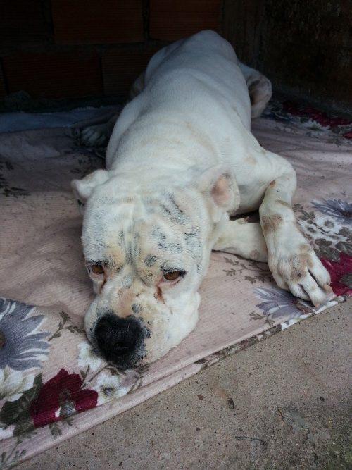 Enfermedades comúnes más mortales en perros   🧡 síntomas