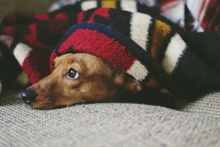 Enfermedades Transmitidas por pulgas en perros  🧡 y Humanos