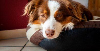 enfermedades de la sangre en perros