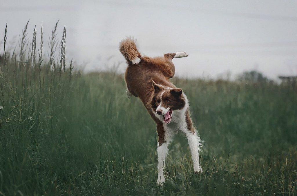 enfermedades musculares en perros