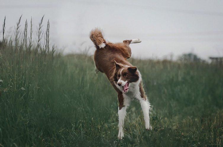 Enfermedades Musculares en Perros 🧡 Todas las Miopatías
