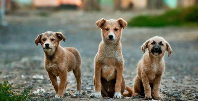 enfermedades por tipos de parasitos en perros
