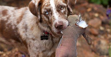 sarna en perros copia