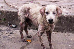 sarna en perros tratamientos caseros