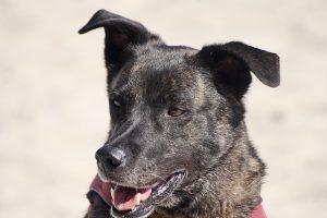 leishmaniasis visceral en perros